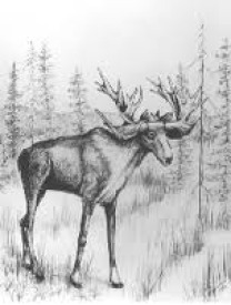 Stag Moose Illustration