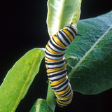 monarchcaterpillar