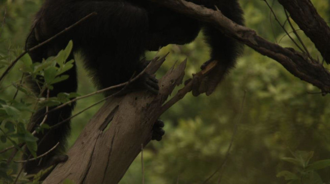 Chimp using tool to hunt for prey