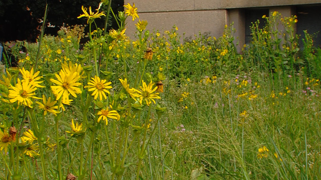 Postcard from Campus: Prairie Behind Science II