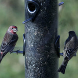 two house finches at a feeder