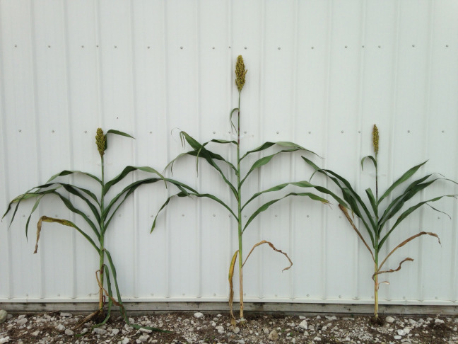 A photo of a sorghum hybrid that's taller than both of its parent varieties