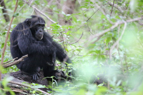 Chimp at Jill Pruetz's research site in Senegal