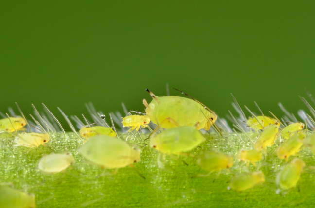 a gorup of green soybean aphids