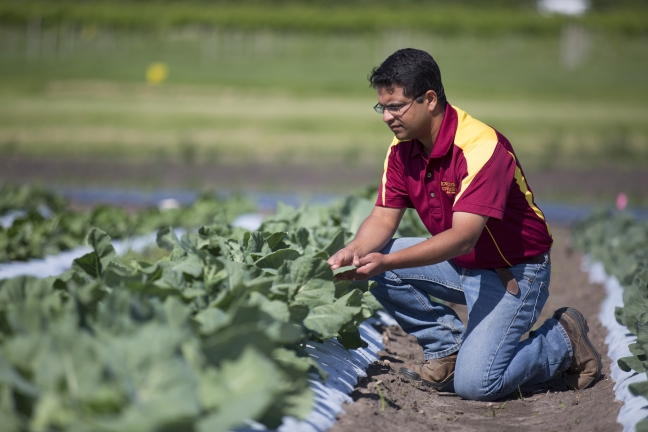 Ajay Nair kneels before a row of vegetables at the ISU Horticulture Resarch Station