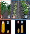 A side-by-side comparison of corn plants originating from high elevations and plants originating from low elevations