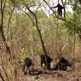 Chimps inspecting body of fellow chimp