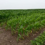 Rows of corn on an Iowa State University research farm, some of which suffer from nitrogen deficiency.