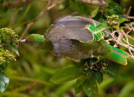 A fruit dove with a premna plant