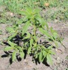 water hemp growing in a field