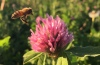 Bee approaching clover plant