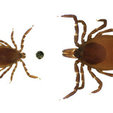 adult and nymph deer ticks