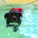 Lab swims in pool for aquatic therapy