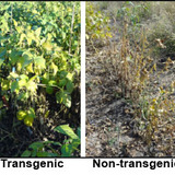 Transgenic soybean plants alongisde suseptible soybeans