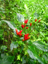 A chili pepper growing wild in the Mariana Islands