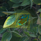 Artist rendering showing how a smartphone may detect stress on a soybean leaf