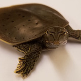 a small spiny softshell turtle
