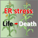 Illustration describing the connection between endoplasmic reticulum stress and plant health in corn