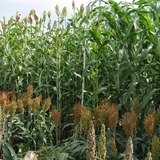 Sorghum plants of various height standing in a field