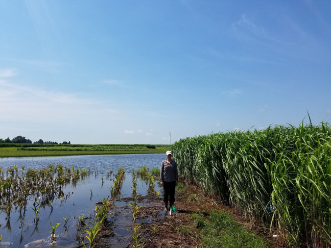 Researcher Emily Heaton stands in a flooded farm field where miscanthus is growing