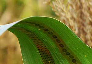 Researchers make wearable sensors for plants