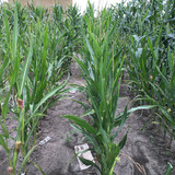Double haploid corn plants growing in a field