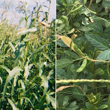 Side-by-side photos of teosinte and Glycine soja, wile relatives of corn and soybean