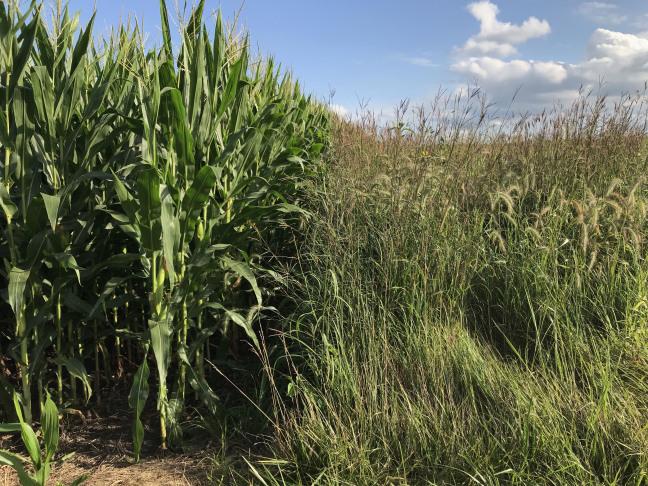 Corn grows alongside prairie grass on a farm field