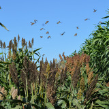 Sorghum grows in a field while birds fly over head