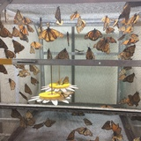 Many monarch butterflies in a laboratory at Iowa State University