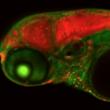 Magnified image of zebrafish embryo