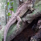 a tuatara in natural habitat