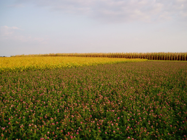 red clover grows in a strip in an agricultural field